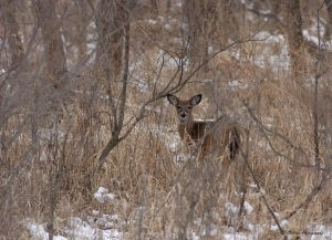 deer in the brush.jpg
